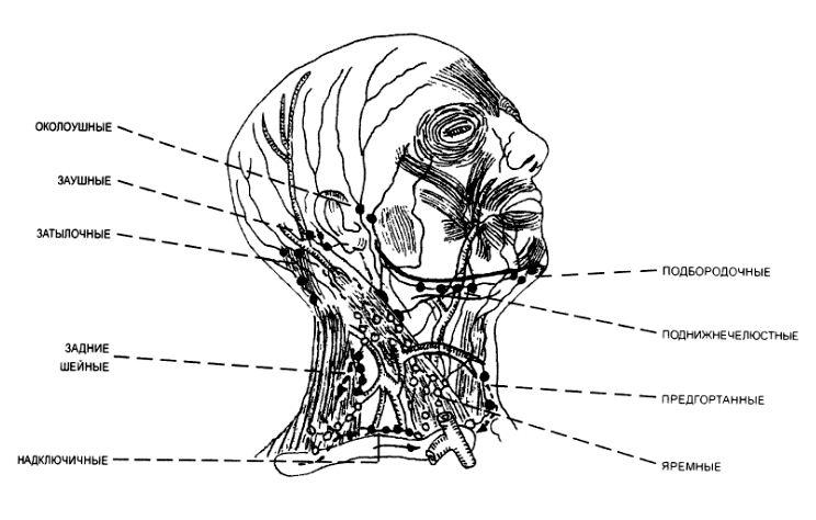 Задние шейные лимфоузлы