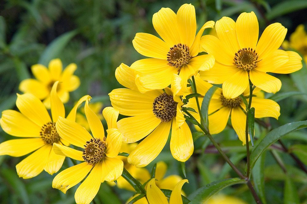 Череда садовая для лечения селезенки
