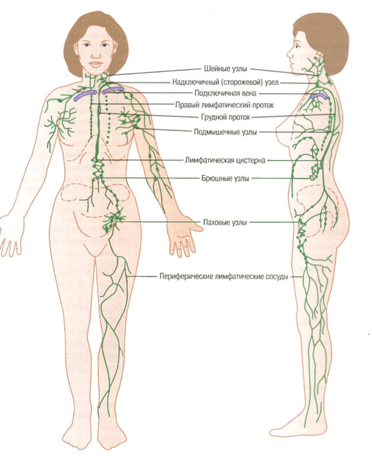 У человека более 500 лимфатических узлов