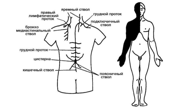 Лимфатические протоки