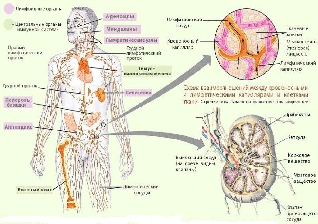 Анатомия и строение лимфатической системы