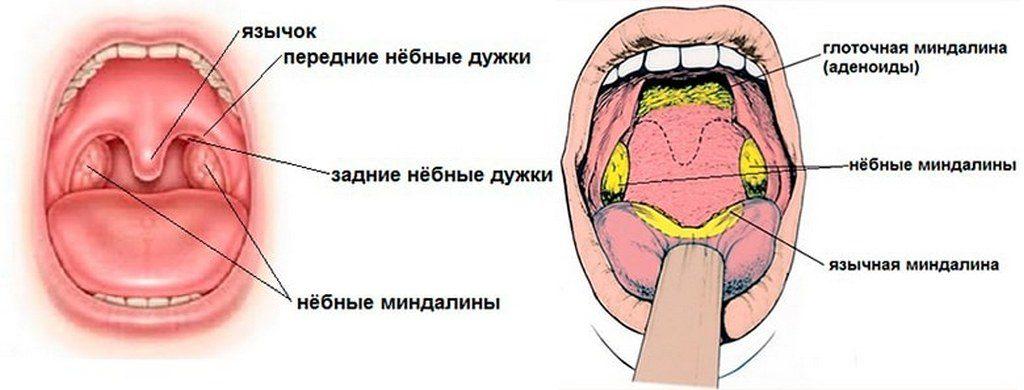 Строение миндалин