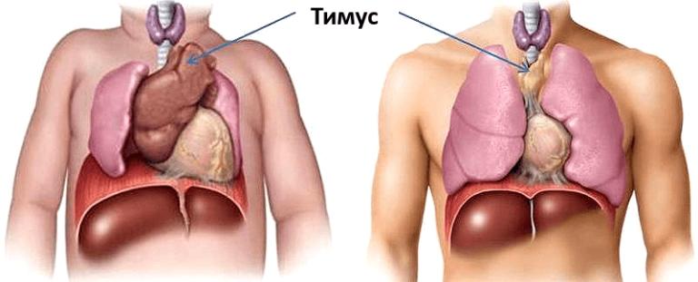 как выглядит тимус