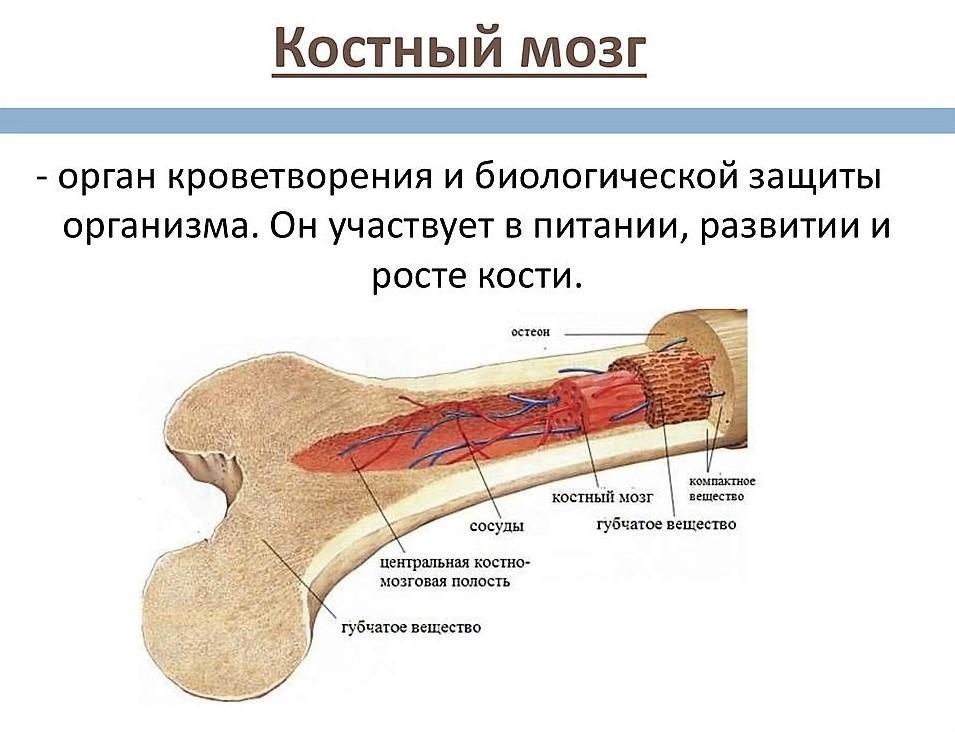 костный мозг расположение картинка давно
