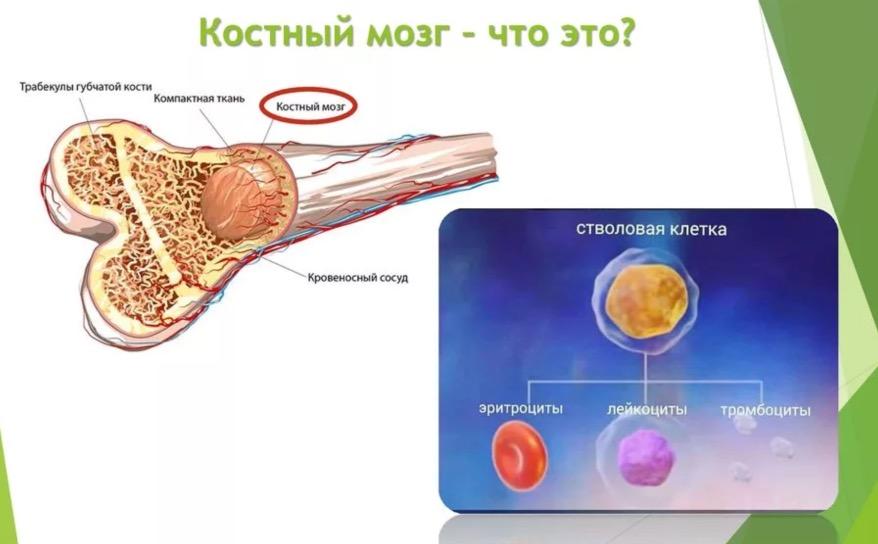 кто может быть донором костного мозга