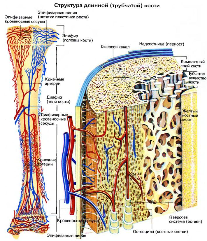 особенности строения костной ткани