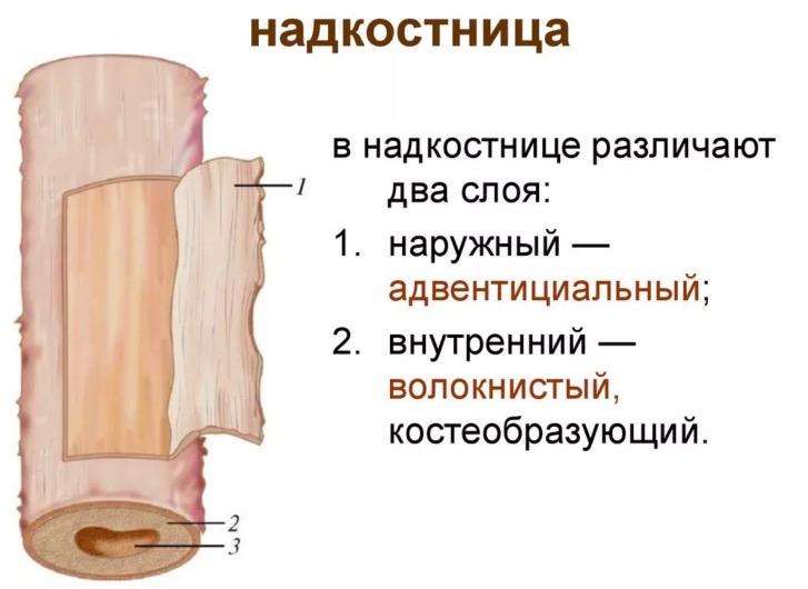 строение костной ткани человека и надкостница