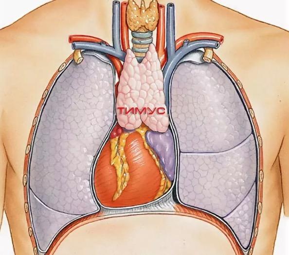 Вилочковая железа: различные заболевания и их симптомы