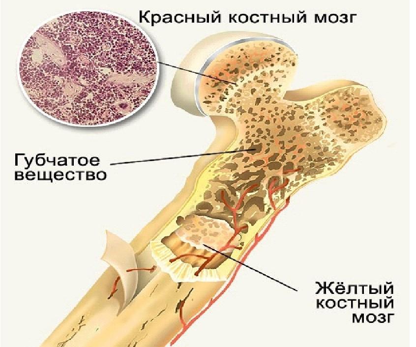 костный мозг расположение