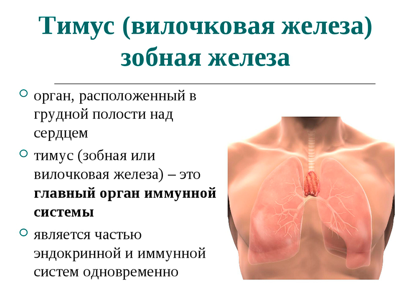 вилочковая железа в организме