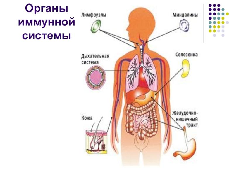 иммунная система человека картинки для